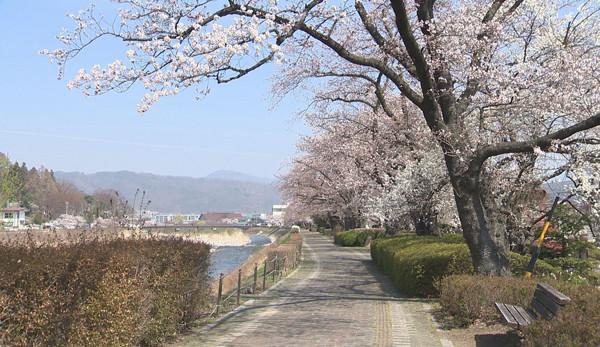 丸子•武石地域の桜の開花状況(4月4日現在)