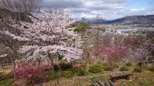 中丸子 箱山城桜ロードの桜満開