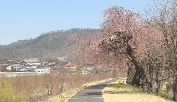 丸子地域の桜の開花状況