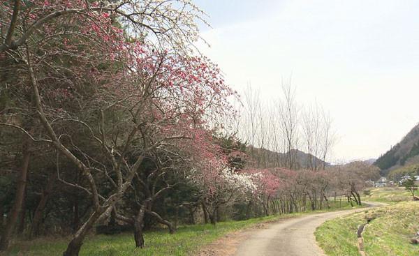 武石地域の桜•花桃の開花状況