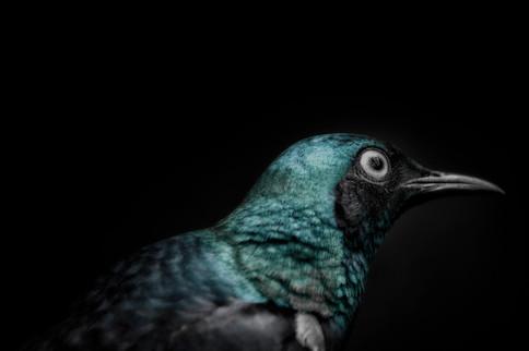Acqua Bird
