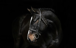 Equine Black Background Portrait Session Northern Kentucky