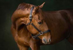 Hanoverian Equine Photoshoot Kentucky Horse Lexington  Victoria Siebe Photography + Film