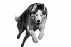 Canine Dog Portrait Session Ohio