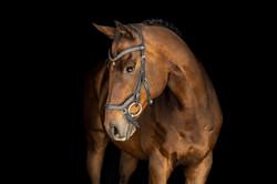 Equine Black Background Portrait Session Cincinnati Ohio
