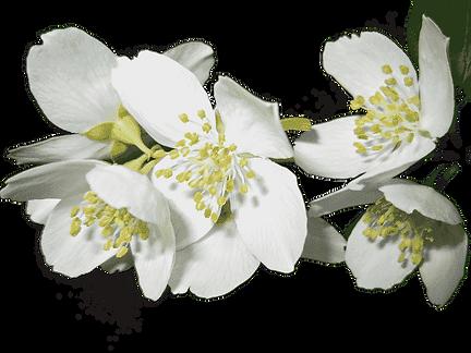 Jasminblüte Biovolen Jasminsalbe