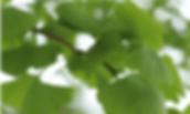 Ginkgo gegen Falten
