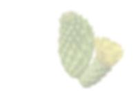 kaktusblüte-transparent.png