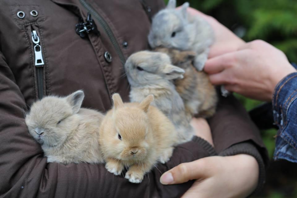 Netherland dwarf baby bunny rabbits