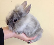 lionhead dwarf bunny rabbit calico mixed