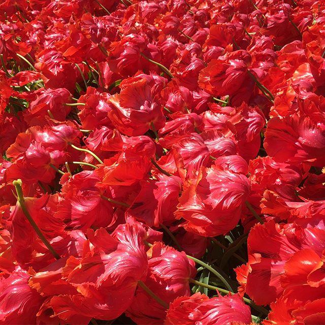 Emma Jane Floral Design visits a sea of pink red parrot tulips in Keukenhof Lisse