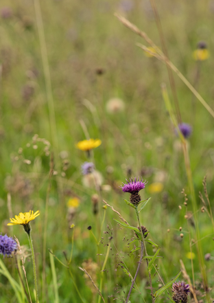Wild flower meadow at Plas Dinam Country House