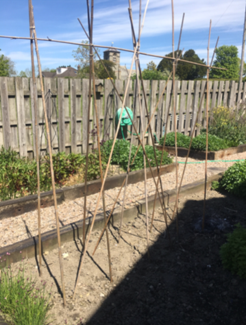 Bamboo structure for growing sweet pea seedlings created by emma jane floral design