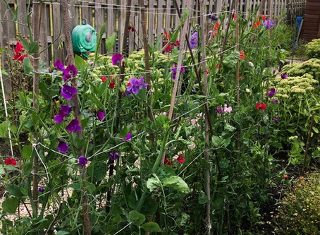 Update: The Sweet Pea Saga