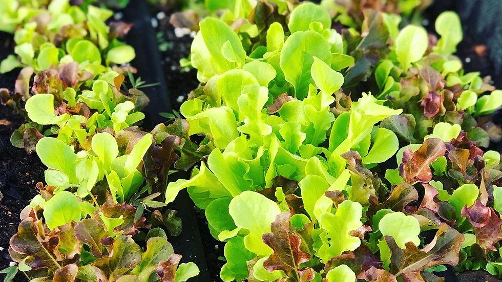 Ma Farm Organically Grown HAWAIIAN RAINBOW SALAD MIX