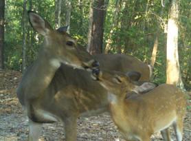 momma deer kissing fawn.jpg