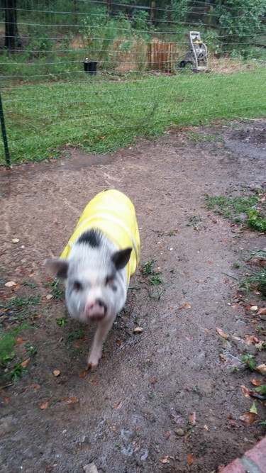 Pickles, the 4 year old Juliana pig.