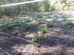 First winter crop