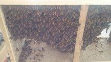 3 pound package of bees before install.