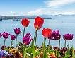 fête_tulipe.jpg