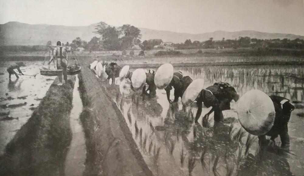 Paysans repiquant du riz à l'époque Meiji (1868 - 1912) (Photo Cl. Underwood)