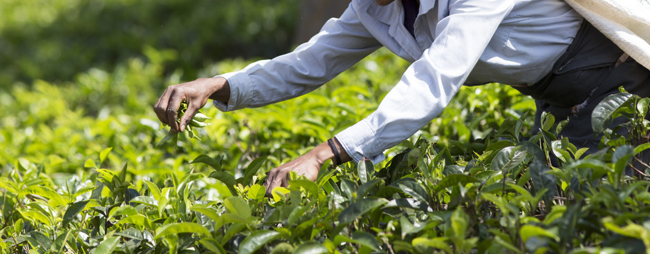 The Tea Trail: Discovering Tea's Roots in India