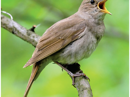 A Nightingale sang in a West Sussex park