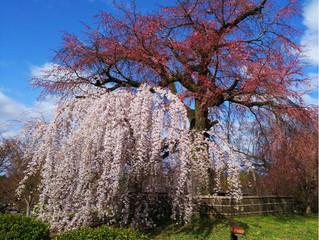 祇園・円山公園の桜は・・!