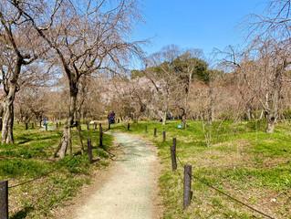 桜の開花状況❀植物園