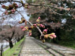 京都☆東山の桜開花状況✿