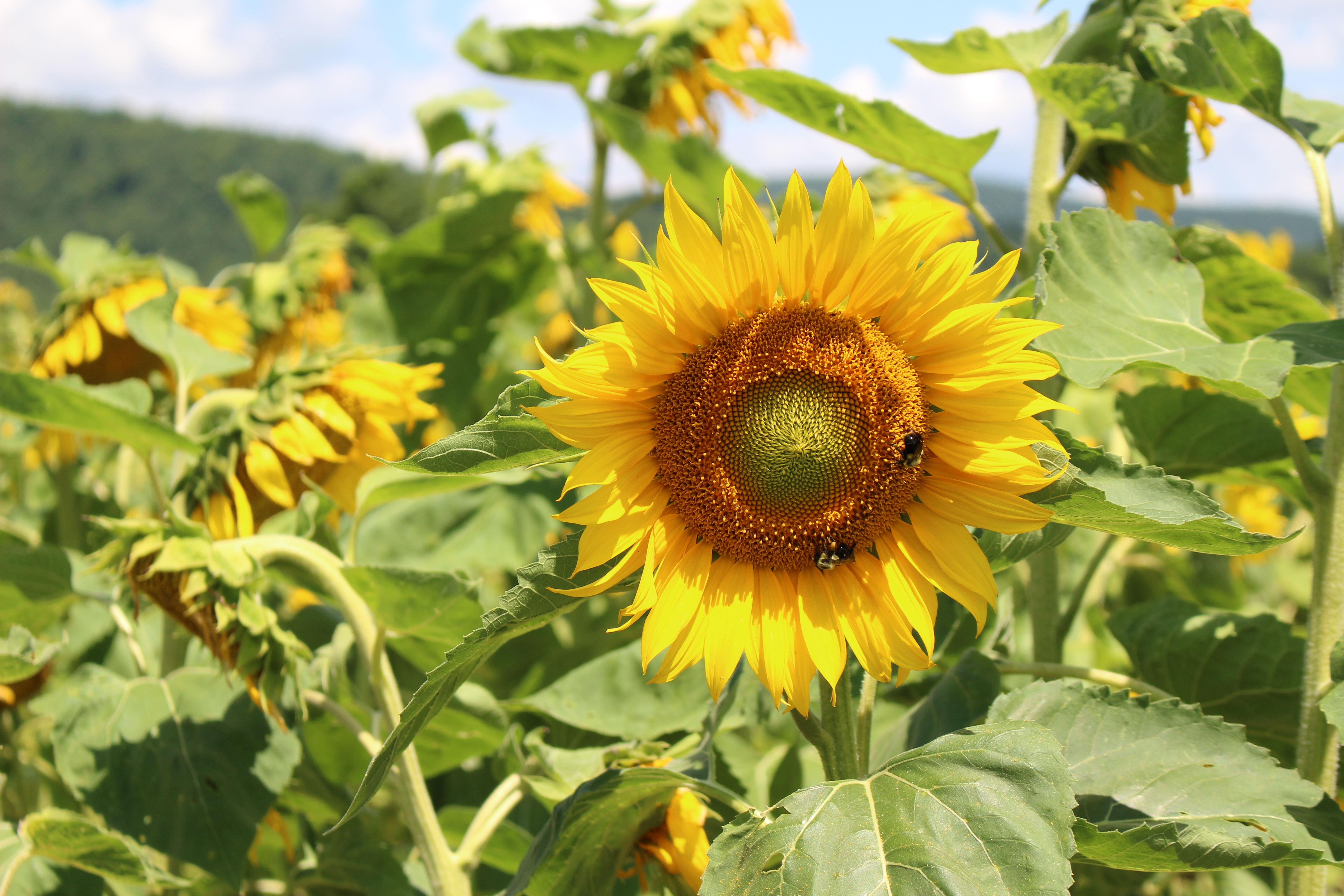 Sunflower Field in New York