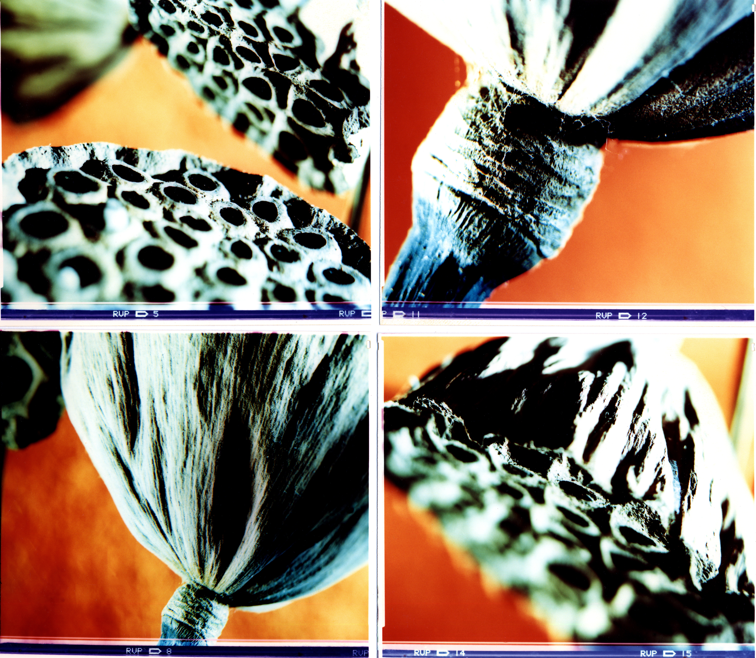 Calice di loto