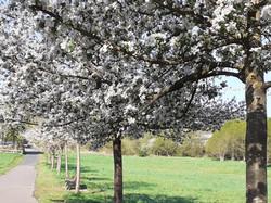 2021-05-13 Baumblühte in der Furte (9)