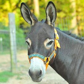 miniature-donkey-halter-9658062_2000x.jp