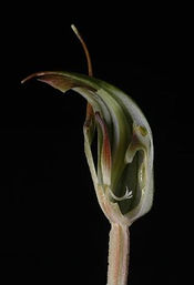Pterostylis concinna dissected to display labellum and column