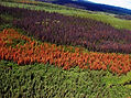 Mountain pine beetle attacked forest
