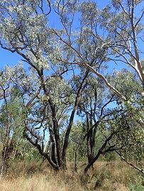 Eucalyptus caleyi photographed by Jasmine Janes
