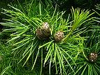 Rare Japanese pine tree