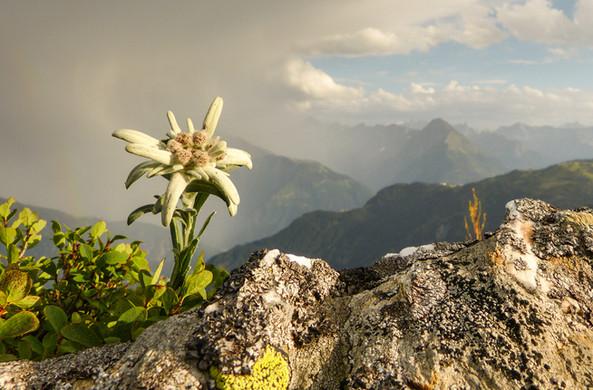 Нежный цветок эдельвейса...