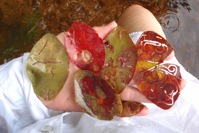 A hand full of bug eaten lily pads