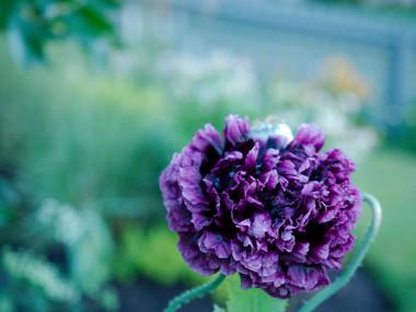 Poppy 'Double Black'