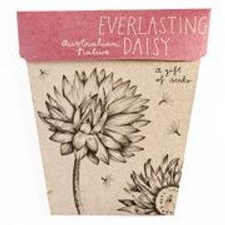 Everlasting Daisy Seeds