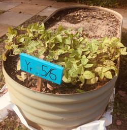 BPS Vegie Garden6