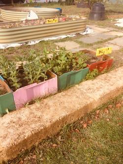 BPS Vegie Garden4