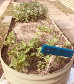 BPS Vegie Garden2