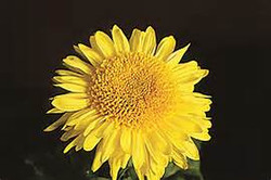 Cloverlea Sunshine