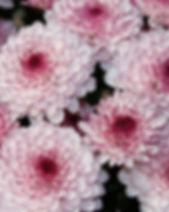Lollipop Pink 1.jpg
