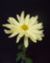 Yellow Marguerita 1.JPG