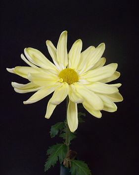 Yellow Marguerita 1.JPG