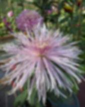 Pink Splendor 1.JPG